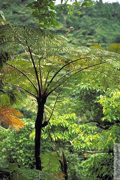 Tree-ferns – Our Living Fossils