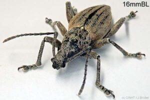 Rarotonga Weevil