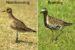 Golden Plover Migration to Alaska