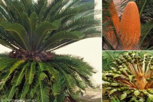 Japanese Sage-palm Cycad (Cycas revoluta) showing a mature plant with male (top) and female (bottom) reproductive organs in the right-hand inserts. The composite image was prepared by Gerald McCormack