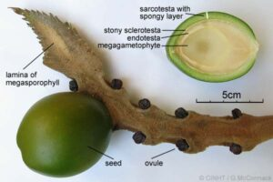 Female megasporophyll of the Queen Sago-palm (Cycas seemannii) showing a large green seed (and disected cross-section) as well as several small black, unfertilised ovules. The image was prepared by Gerald McCormack from a Fijian specimen