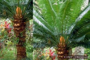Queen Sago-palm (Cycas seemannii) composite showing a female plant. The image was prepared by Gerald McCormack from a Cook Island specimen