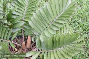 Cardboard Palm (Zamia furfuracea) fronds with several male strobili. Image prepared by Gerald McCormack